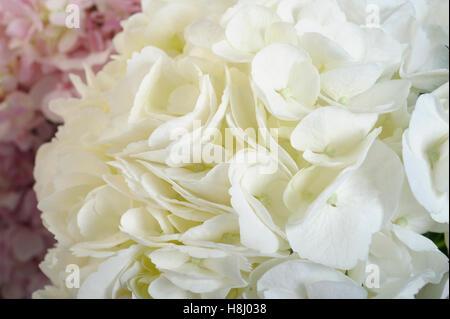 hydrangea flowers - Stock Image