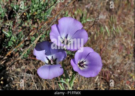 Splendid Mariposa lily, Calochortus splendens , Cuyamaca Rancho State Park, CA 080518_30346 - Stock Image