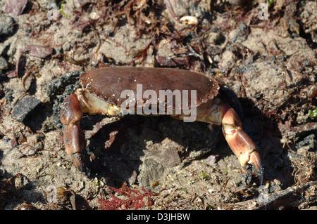Edible crab (Cancer pagurus) exposed at low tide, UK. - Stock Image