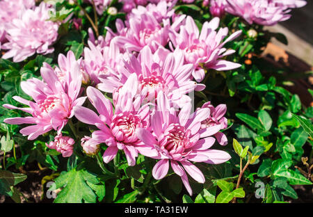 bright pink chrysanthemums outdoor on sunny day closeup - Stock Image