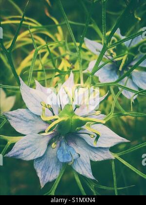 Blue nigella flowers - Stock Image