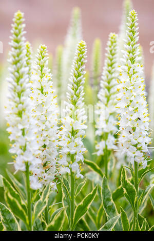 Veronica longifolia Charlotte with variegated leaves and white flowers, UK. - Stock Image