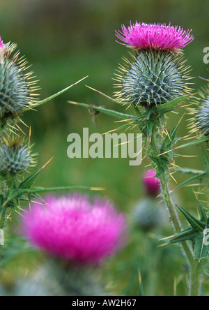 Close up of Spear Thistle in field of green grass - Stock Image