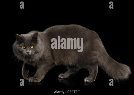 Gray Cat Stare and crouching on Isolated Black Background, side view - Stock Image