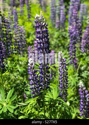 Lupine flowers in northern Michigan - Stock Image