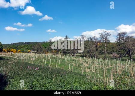 Tree plantings on open space near the old Strathspey Railway Blacksboat Station off river spey where B9138 crosses the river in Morayshire Scotland UK - Stock Image