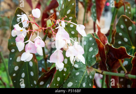 Begonia Maculata Wightii in flower with white-pink flowers and green and red spotted leaves - Stock Image