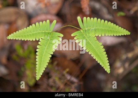 Tropical ferns in rainforest, Borneo - Stock Image