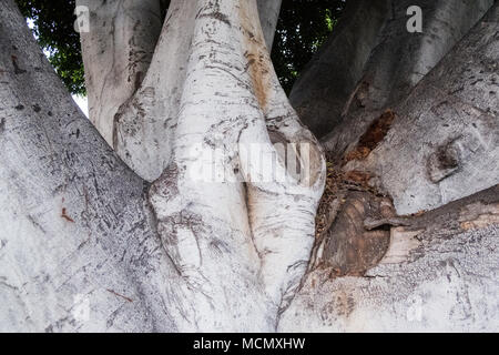 Santa Cruz de Tenerife; the smooth bark of an old Laurel de Indias tree growing with large branches from a central trunk. - Stock Image