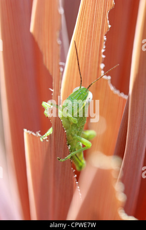 CLOSE UP OF A GREEN GRASSHOPPER ON A BROWN PLANT LEAF VERTICAL BDA - Stock Image