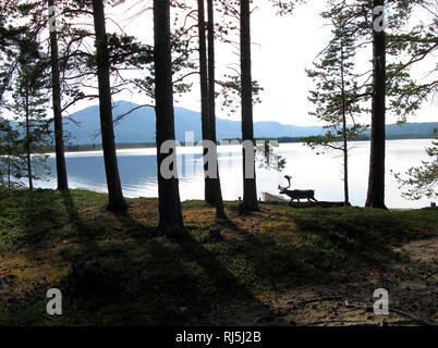 Reindeer in a forest - Stock Image