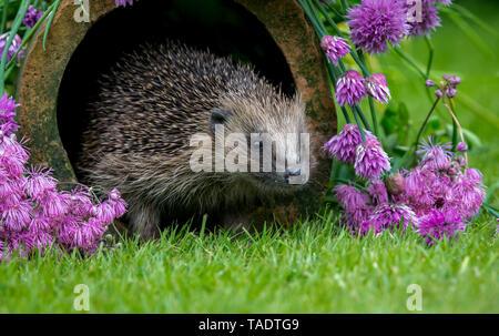 Hedgehog, (Scientific name: Erinaceus Europaeus) wild, native, European hedgehog in natural garden habitat with flowering purple chives.  Facing right - Stock Image