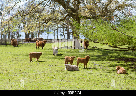 field of Highland cattle and calves in Applecross, Highland, Scotland - Stock Image