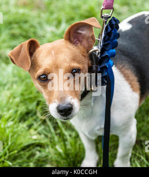 A Jack Russell with his blue rosette for second in his class at The Barlow Hunt Dog Show - Stock Image