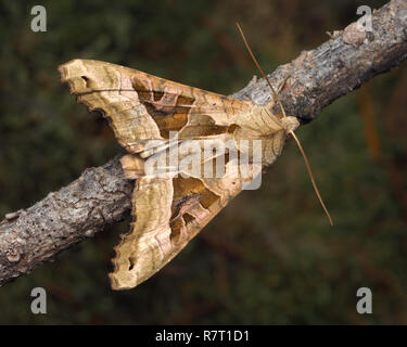 Dorsal view of Angle Shades moth (Phlogophora meticulosa) with open wings and perched on a conifer branch. Tipperary, Ireland - Stock Image