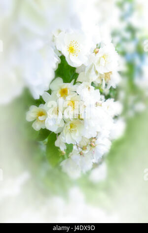 Lots of flower heads of a white rambler rose on a sunny summers day, text or copy space, background template - Stock Image
