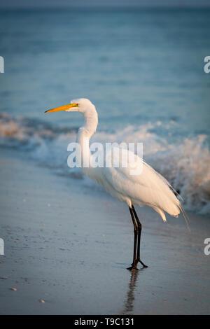 Great Egret (Ardea Alba), or Common Egret on a beach in Southwest Florida, Naples, Florida, USA - Stock Image
