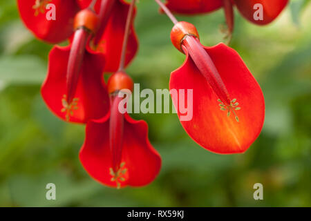 Jerusalem cherry (Erythrina crista-galli), Botanical garden, Additional-Rights-Clearance-Info-Not-Available - Stock Image