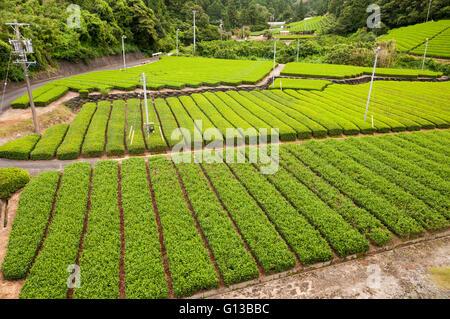 Growing green tea, SHizuoka, Japan - Stock Image