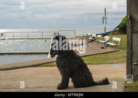 A black shaggy dog waits patiently while its owner swims in the nearby ocean pool at Blackhead Beach on the mid north coast of NSW, Australia - Stock Image