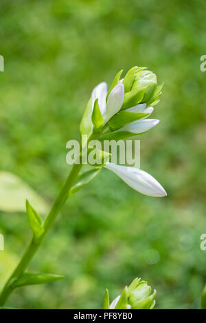 Opening bud of the white flowers of Hosta sieboldiana, a hosta cultivar growing in Wichita, Kansas, USA. - Stock Image