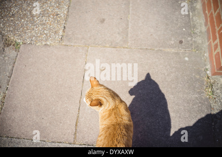 A domestic cat on the pavement in London, United Kingdom. - Stock Image