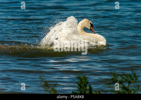 Rutland water Oakham 26 th June 2018: Bathing swans on a hot day as Gray Heron Little Egret fishing, mother feeds her young, young male Ofspray takes his fiorst flight.  Clifford Norton Alamy  Live News. - Stock Image
