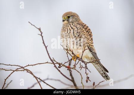 Kestrel, Falco tinnunculus female, Turmfalke (Falco tinnunculus) Weibchen - Stock Image