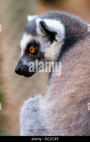 Ring-tailed Lemur, Lemur catta, Bronx Zoo, New York City, New York, USA - Stock Image