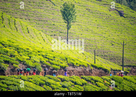 Horizontal view of tea plantation workers walking home in Munnar, India. - Stock Image