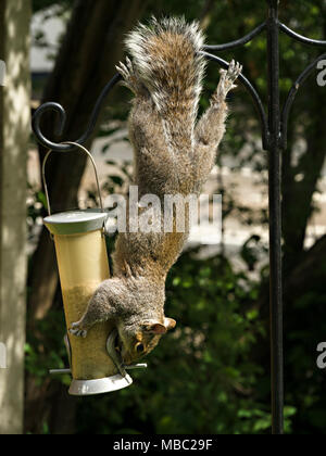 Agile, acrobatic Grey Squirrel (Sciurus carolinensis) hanging upside down stealing food from garden bird seed feeder, England, UK - Stock Image