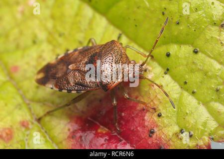 Overwintering Parent Bug (Elasmucha grisea) resting on bramble leaf. Tipperary, Ireland - Stock Image