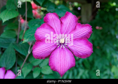 Close-up of a magenta clematis flower in spring, Vancouver, BC, Canada - Stock Image