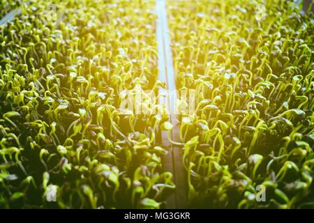 Sunflower Sprout with Ling Leak. - Stock Image