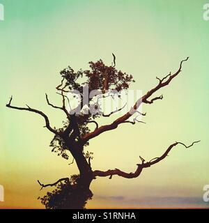 Winters Oak Tree - Stock Image