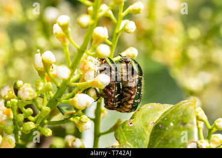 Closeup of Goldsmith beetle - Cetonia aurata - having sex during mating season - Stock Image
