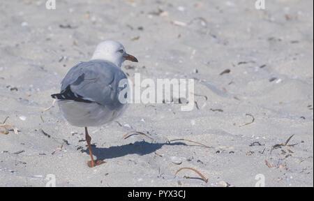 Australian seagull balanced on one leg on a white sandy beach on Kangaroo Island, Australia - Stock Image