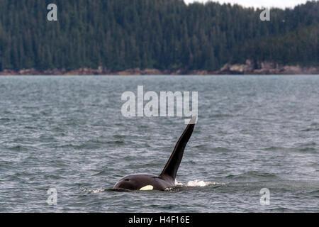 Killer whale or Orca, Kenai fjords, Seward, Alaska - Stock Image