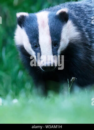 A wild Badger (Meles meles) foraging late evening, Warwickshire - Stock Image