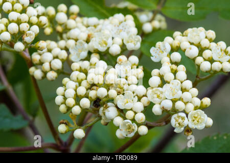 Hawthorn flowers in spring - Stock Image