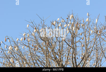 Kapok (Ceiba pentandra) seed pods and their fluffy contents on a small tree in the dry forest on San Cristobal. - Stock Image
