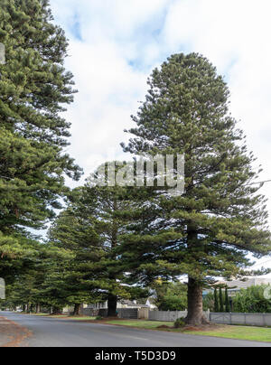Row of majestic Norfolk Pines along Gipps Street in Port Fairy, Victoria, Australia - Stock Image