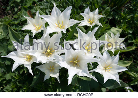 Group of white tulips - variety is Tres Chic - Stock Image