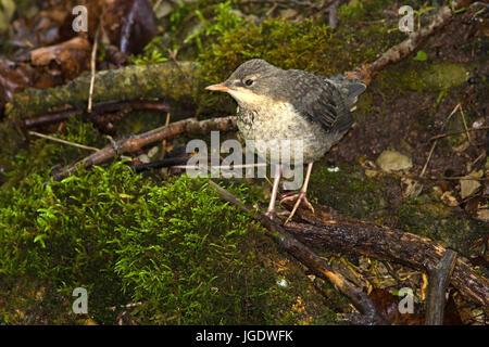 Water blackbird, Cinclus cinclus Jung's bird, Wasseramsel (Cinclus cinclus) Jungvogel - Stock Image