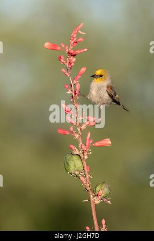 USA, Arizona, Amado. Verdin perched on flowering stalk of hesperaloe. Credit as: Wendy Kaveney / Jaynes Gallery - Stock Image
