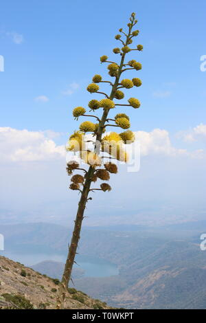 Close up view of yellow flowering tall succulent on volcano Santa Ana, El Salvador with lake in the background - Stock Image