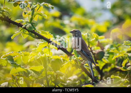 Linnet bird, Carduelis cannabina, display and searching for a mate during Springtime in a bramble bush. Singing in early morning sunlight. - Stock Image
