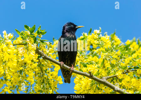 Starling, Scientific name: Sturnus Vulgaris. perched in Laburnum Tree with bright yellow flowers. Clean blue Sky background.  Facing right. Horizontal - Stock Image