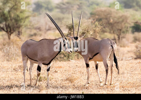 Oryx (Oryx gazelle) standing side by side, heads next to each other - Stock Image