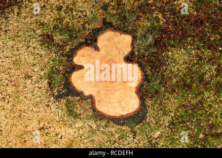 A freshly cut tree stump for a Silver Birch tree - Stock Image